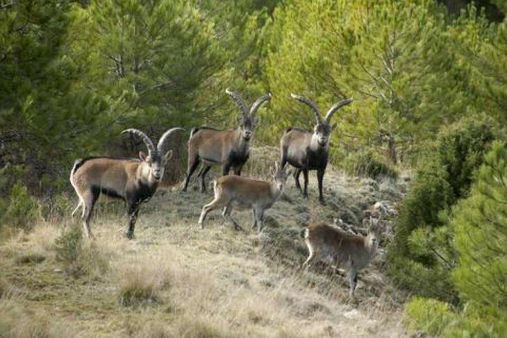 cabras montes beceite