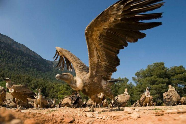 Apertura de alas del buitre leonado en Teruel